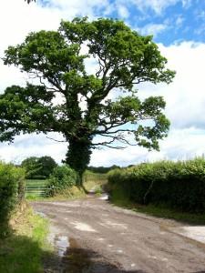 Oak_tree_-_geograph.org.uk_-_514299
