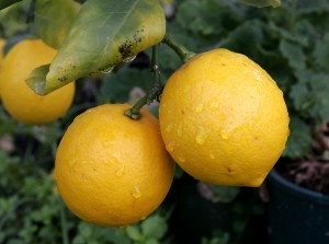 Pair_of_lemons-cropped